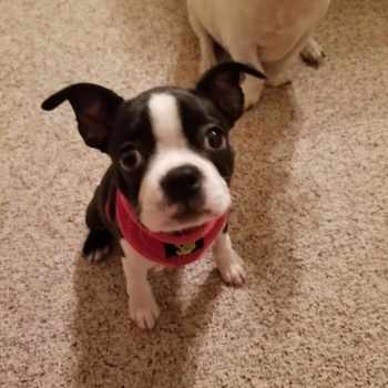 Boston Terrier Rescue Utah