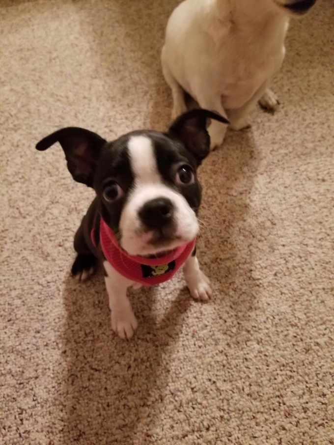 Boston Terrier Rescue Utah