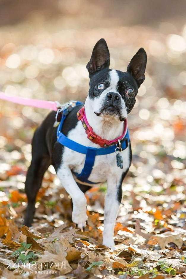 Boston Terrier Rescue Va