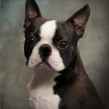 Boston Terrier Rescue Washington