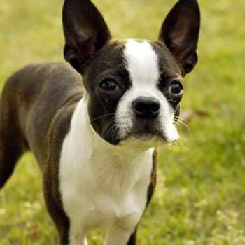 Boston Terrier Reviews