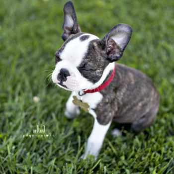 Boston Terrier Sacramento