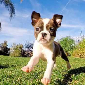 Boston Terrier San Diego
