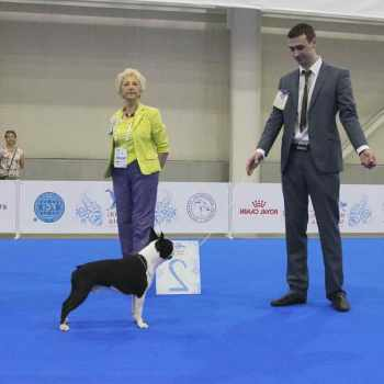 Boston Terrier Show Dog