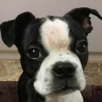 Boston Terrier Skin Allergies