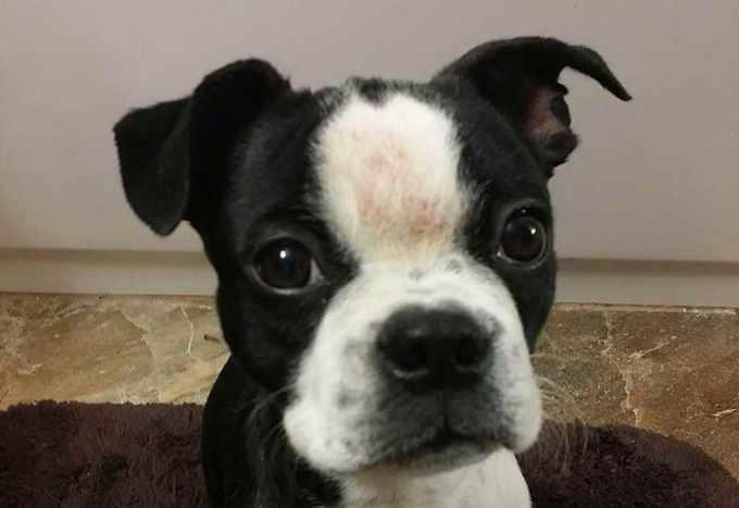Boston Terrier Skin Allergies