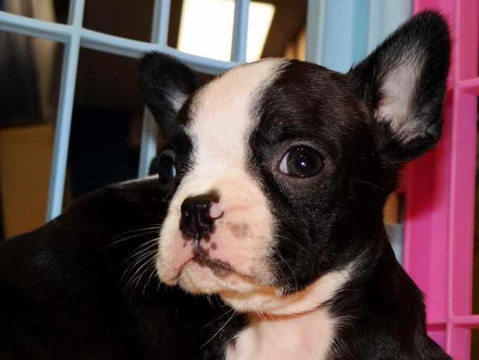 Boston Terrier South Carolina