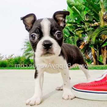 Boston Terrier Southern California