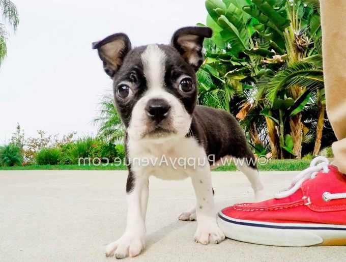 Boston Terrier Southern California