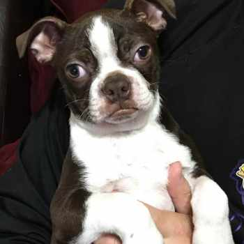 Boston Terrier St Louis