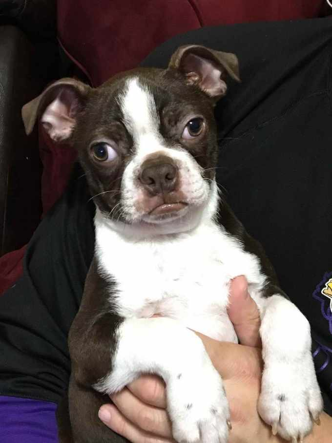 Boston Terrier St Louis