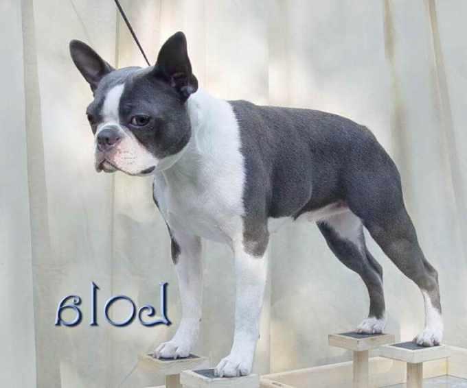 Boston Terrier Texas