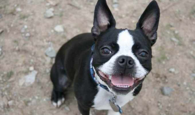 Boston Terrier Traits