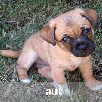 Boxer German Shepherd Mix For Sale