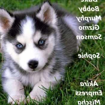 Boy Husky Names