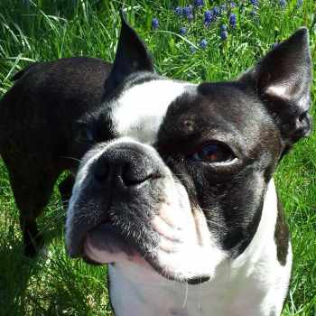 Brawny Commercial With Boston Terrier
