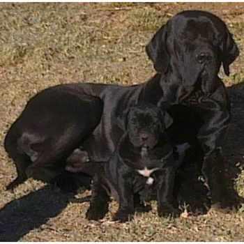 Brazilian Mastiff For Sale