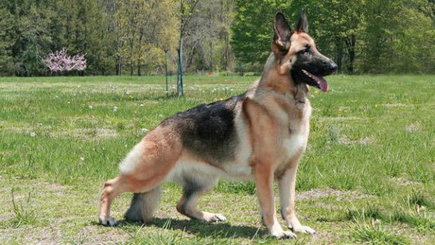 Breed Of German Shepherd