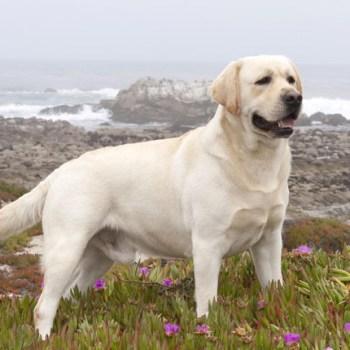 Breeders Of Labrador Retrievers
