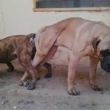 Brindle Bull Mastiff For Sale