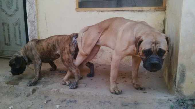 Brindle Bull Mastiff For Sale