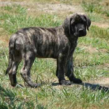 Brindle English Mastiff Puppies For Sale