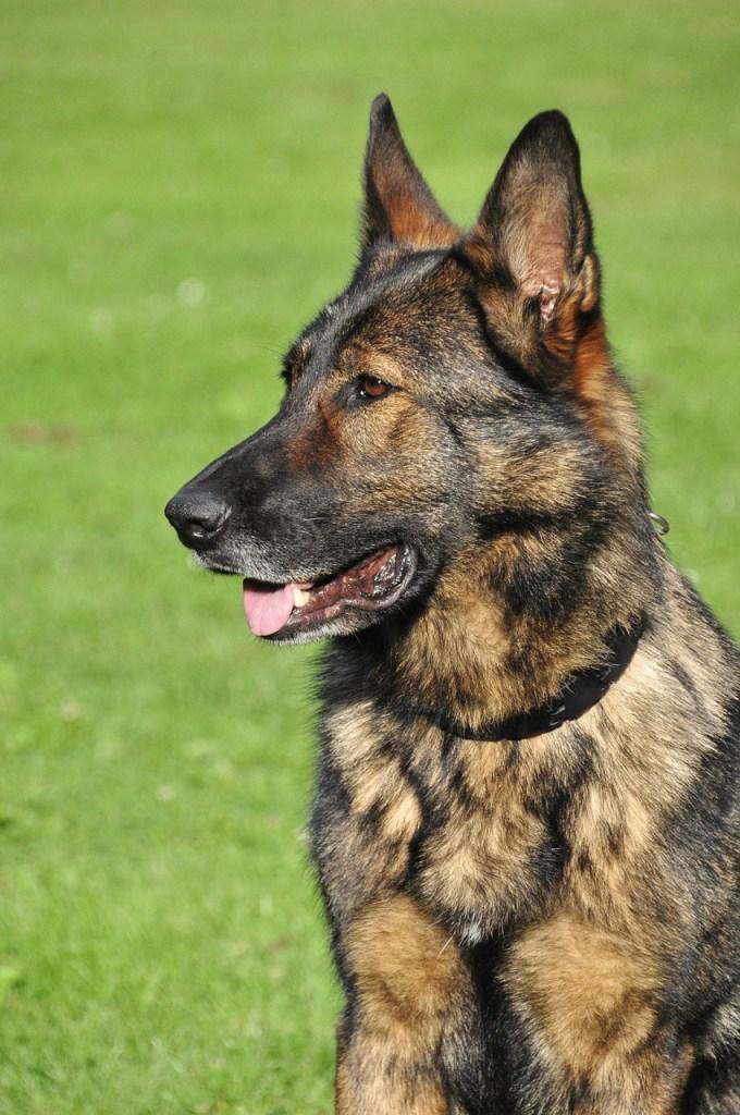 Brindle German Shepherd Puppy