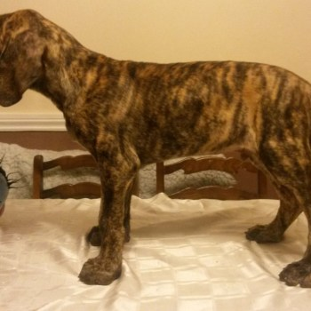 Brindle Great Dane For Sale