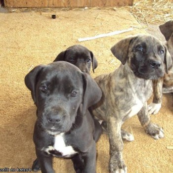 Brindle Great Dane Puppies For Sale