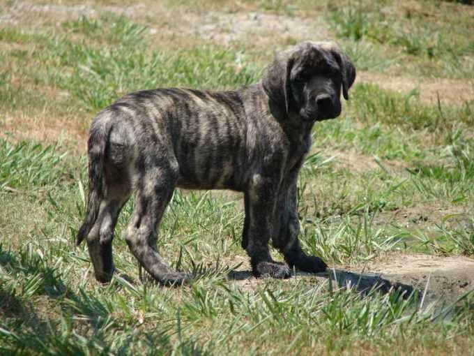 Brindle Mastiff Puppy For Sale