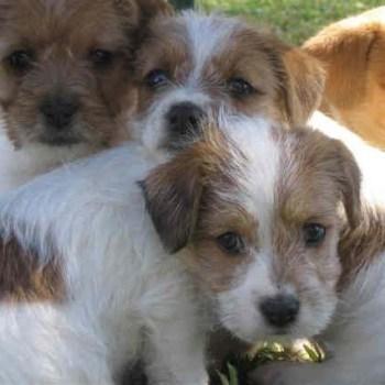Broken Coat Jack Russell Terrier Puppies For Sale