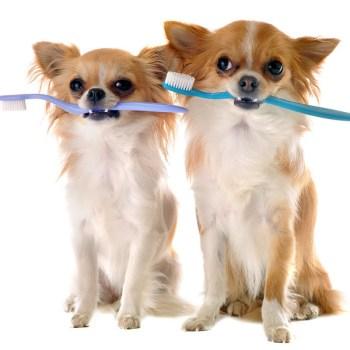 Brushing Chihuahua Teeth