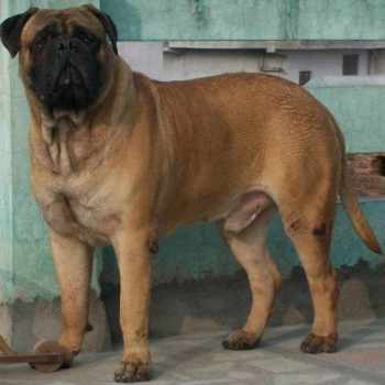 Bull Mastiff Dog Names