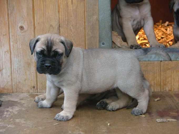 Bull Mastiff Dog Puppies