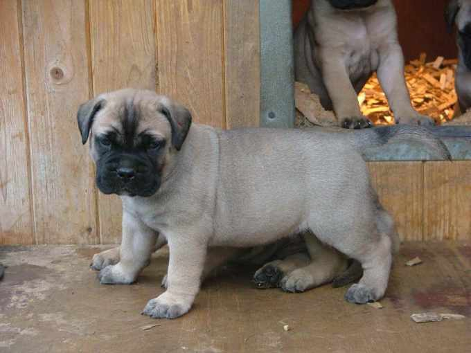 Bull Mastiff For Sale In Florida