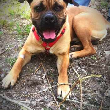 Bull Mastiff Mixes