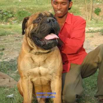 Bull Mastiff Price