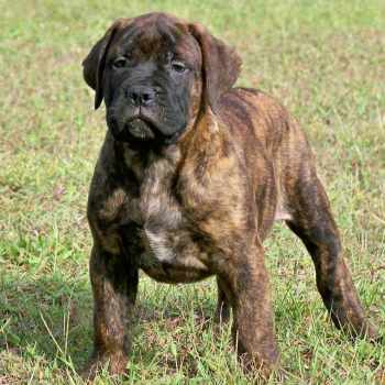 Bull Mastiff Puppies For Sale Florida