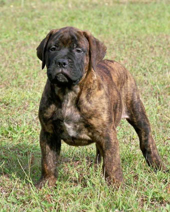 Bull Mastiff Puppies For Sale Florida