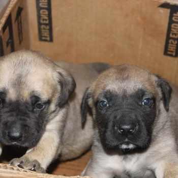 Bull Mastiff Puppies For Sale In Md