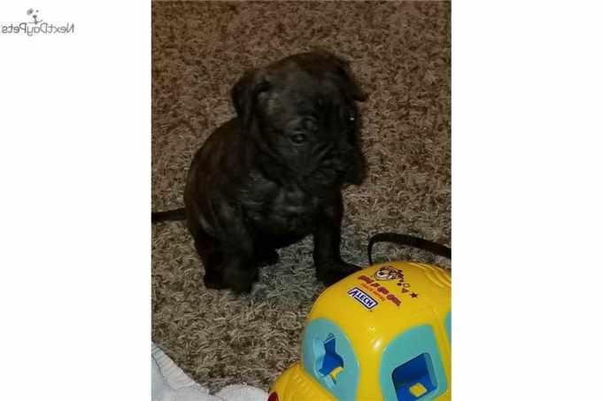 Bull Mastiff Puppies For Sale In Oklahoma