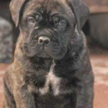 Bull Mastiff Puppies For Sale In Texas