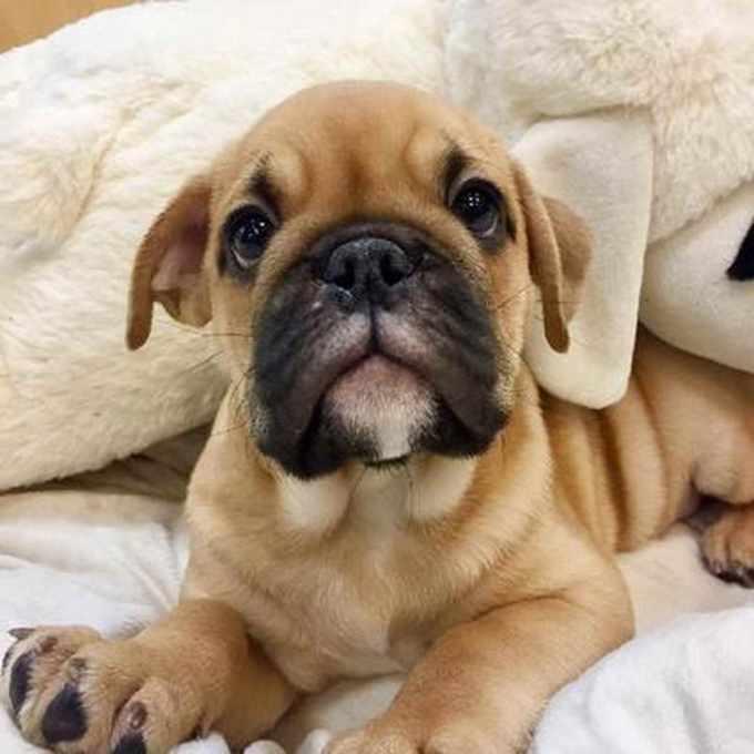 Bull Pug For Sale