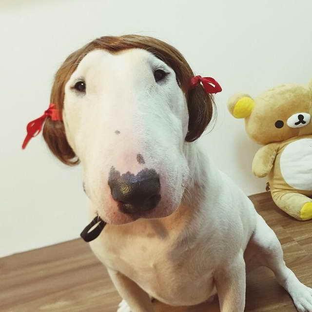Bull Terrier Accessories