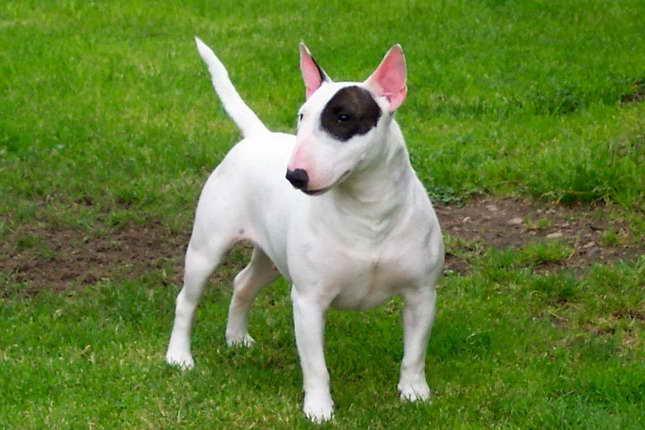 Bull Terrier Adoption