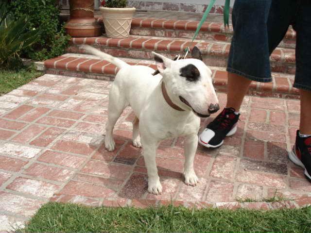 Bull Terrier Breeders California