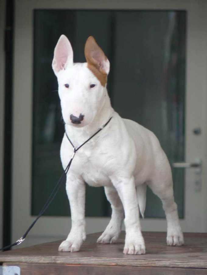 Bull Terrier Breeders In Florida