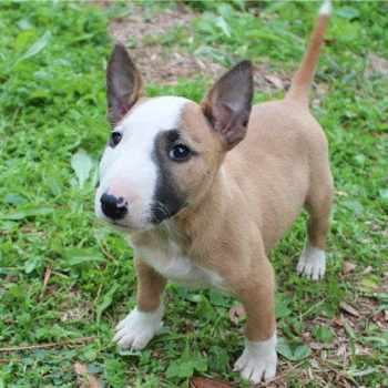 Bull Terrier Costs