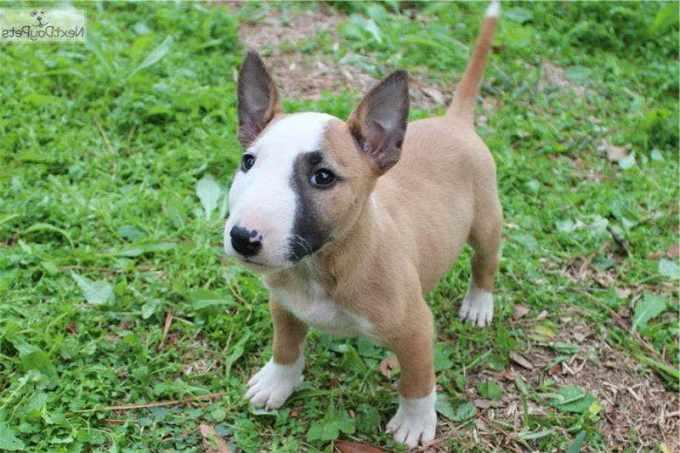 Bull Terrier Costs