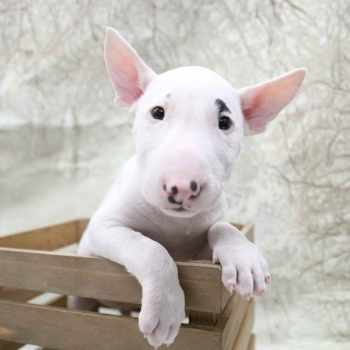 Bull Terrier Dallas